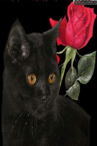 the black cat and a rose